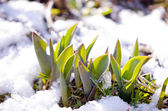 Tulip leaves between melting snow in spring — Stock Photo