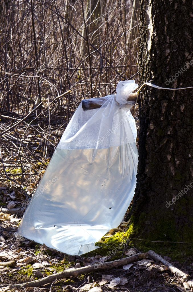 Birch sap flow to polyethylene bag. Natural and healthy drink from tree trunk. — Stock Photo #10473085