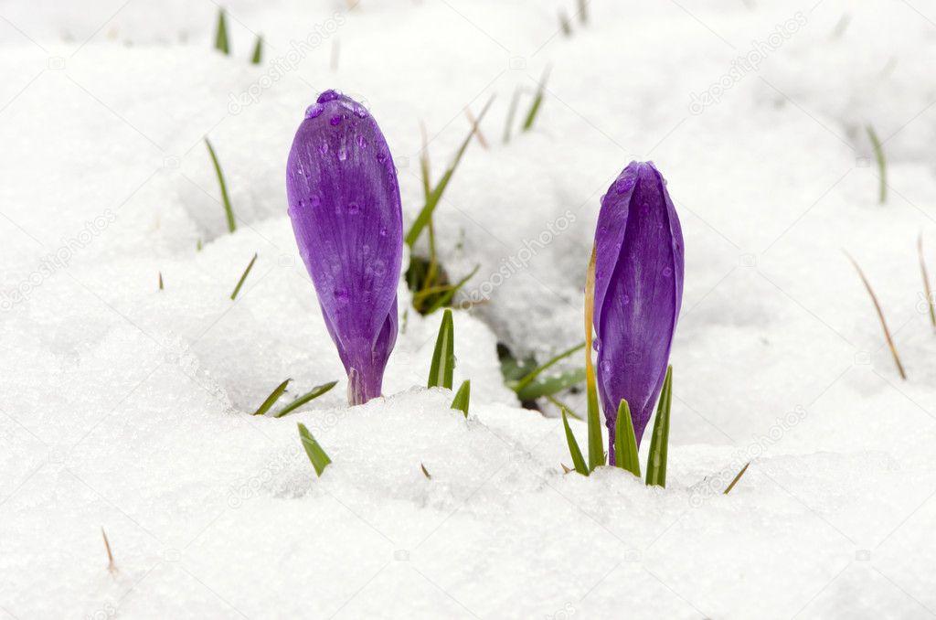 krokusse safran violette bl ten fr hling blumen schnee. Black Bedroom Furniture Sets. Home Design Ideas