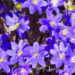 Royalty-Free Stock Photo: Background closeup hepatica blue flowers blooms