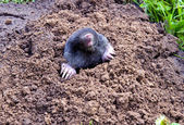 Mole head and legs mole-hill. parasitic animal — Stock Photo