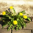 Stock Photo: Bloom dandelion sow thistle flower sidewalk tile