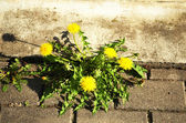 Bloom dandelion sow thistle flower sidewalk tile — Stock Photo