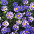 Background of blooming garden flowers blue yellow. — Stock Photo