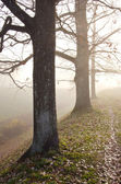 Linden tree trunks sunk in fog. Autumn trees alley — Stock Photo