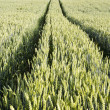 Tractor tracks left in agricultural wheat field. - Stock Photo