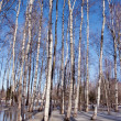 Melting snow ice spring birch forest tree trunk sky — Stock Photo