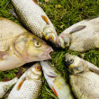 White fish catch on grass. Bream roach perch — Stok fotoğraf