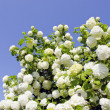 Stock Photo: Viburnum snowball blooms