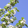 White apple tree buds blooms spring background — Stock Photo