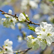 Stock Photo: White apple tree buds blooms spring background