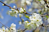 Apple blanc arbre bourgeons fleurs printemps fond — Photo
