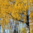 Stock Photo: Background of birch tree branches golden leaves