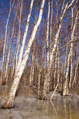 Background birch tree forest snow defrost spring — Stock Photo