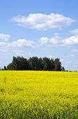 Background yellow oilseed rape agricultural field — Stock Photo