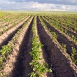 Plow potato vegetable agricultural field backdrop — Stock Photo #9580149