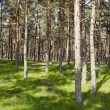 Background of pine tree forest sunlight and shadow — Stock Photo