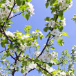 Blooming apple tree branch on background of sky — Stock Photo