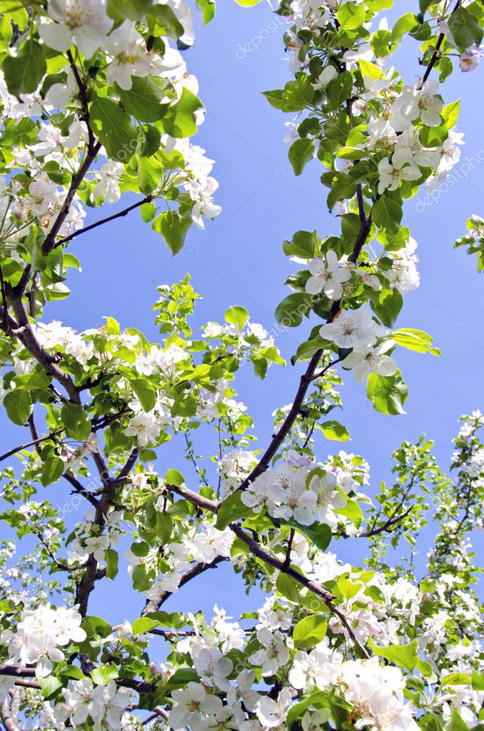 White blooming apple tree branches on background of blue sky. Natural spring beauty backdrop. — Stock Photo #9755417