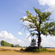Background of oak tree in riped agricultural field — Stock Photo #9849891