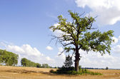 Background of oak tree in riped agricultural field — Stock Photo