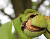 Ripe walnut — Stock Photo