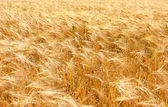 Summer field with yellow wheat in hdr — Stock Photo