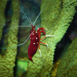 Stock Photo: Red shrimp