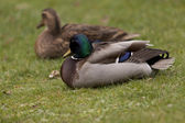 Duck on a grass — Stock Photo