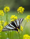 Fotografia della farfalla zebra — Foto Stock