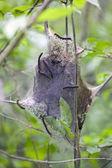 Eastern Tent Caterpillars — Stock Photo