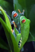 Mating Red Eyed Tree Frogs — Stock Photo