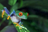 Red Eyed Tree Frog — Photo