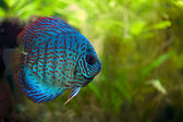 Discus Fish — Stock Photo