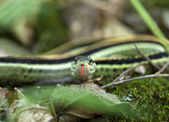 Serpente giarrettiera — Foto Stock