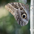 Owl Butterfly — Stock Photo