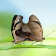 Mating Butterflies — Stock Photo