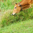 Cow eat grass — Stock Photo