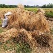Rotten paddy — Stock Photo