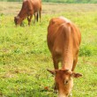Two cow eat grass — Stock Photo
