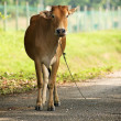 Brown cow stand on the road — Stock Photo