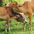 Intimate cow with love — Stock Photo