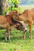 Vaca íntimo con amor — Foto de Stock