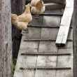 Chickens on a wooden ramp. — Stock Photo