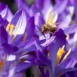 Honey bee on crocus petal. — Stock Photo
