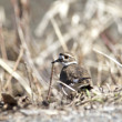Stock Photo: Killdeer by brown grass.