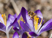 Closeup of bee on a crocus. — Stock Photo