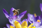 Bee on top of a crocus. — Stock Photo