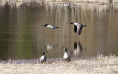 Two geese flying low. — Stock Photo