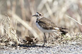 Killdeer by weeds. — Stock Photo